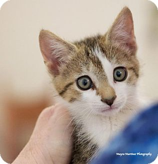 Domestic Shorthair Kitten for adoption in Knoxville, Tennessee - Bitsy