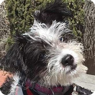 Bichon Frise/Terrier (Unknown Type, Medium) Mix Puppy for adoption in La Costa, California - Suzy