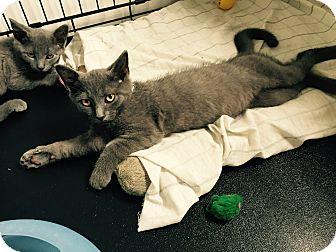 Domestic Shorthair Kitten for adoption in Speonk, New York - Dirk