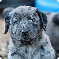 Adopt A Pet :: *Harmony - PENDING - Westport, CT