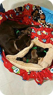 Labrador Retriever Dog for adoption in Owenboro, Kentucky - HERSHEY!