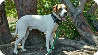 Beagle/Hound (Unknown Type) Mix Dog for adoption in Costa Mesa, California - Stitch