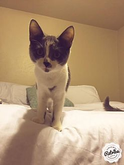 Domestic Shorthair Cat for adoption in Dallas, Texas - Bug