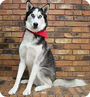 Husky Dog for adoption in Benbrook, Texas - Bilbo