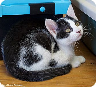 Domestic Shorthair Kitten for adoption in Chattanooga, Tennessee - Shadow