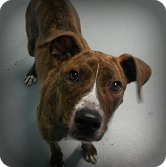 Hound (Unknown Type) Mix Dog for adoption in Muskegon, Michigan - Lulu