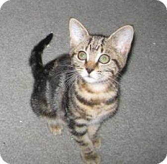 Domestic Shorthair Kitten for adoption in Kirkwood, Delaware - Sweet Tater