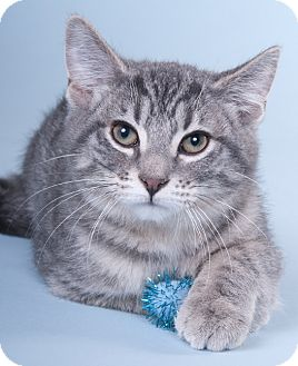 Domestic Shorthair Kitten for adoption in Chicago, Illinois - Augie