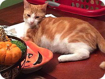 Domestic Shorthair Cat for adoption in Dawson, Georgia - RJ