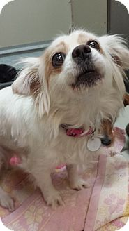 Chihuahua/Spaniel (Unknown Type) Mix Dog for adoption in Westminster, California - Sugar