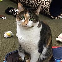 Domestic Shorthair Cat for adoption in San Carlos, California - Penelope