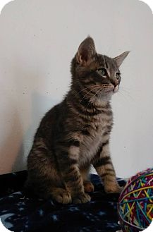 American Shorthair Kitten for adoption in Glenpool, Oklahoma - Mr.