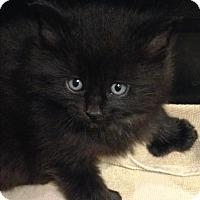 Adopt A Pet :: Hendrix - Montreal, QC