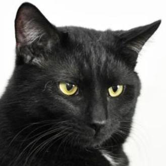 Domestic Shorthair/Domestic Shorthair Mix Cat for adoption in Tilton, Illinois - Black Diamond