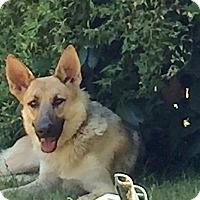 Adopt A Pet :: Elke - Woodinville, WA