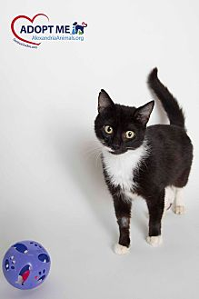 Domestic Shorthair Cat for adoption in Alexandria, Virginia - Mayble