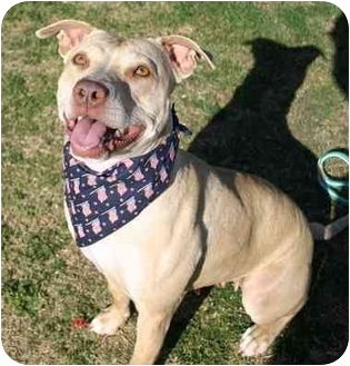 American Pit Bull Terrier/Weimaraner Mix Dog for adoption in Auburn, California - Athena