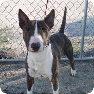 Bull Terrier Dog for adoption in Los Angeles, California - Jesse