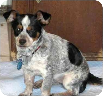 Maltese/Dachshund Mix Puppy for adoption in Conroe, Texas - Jon Pauly