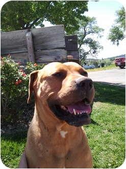 American Staffordshire Terrier/Boxer Mix Dog for adoption in Sacramento, California - Julian