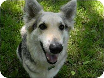 Alaskan Malamute/German Shepherd Dog Mix Dog for adoption in Arlington, Texas - Boosty