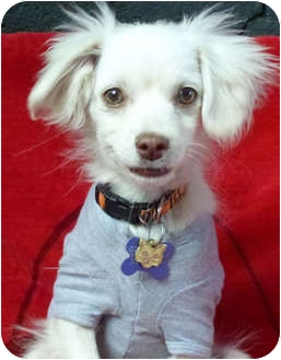 English Springer Spaniel/Cavalier King Charles Spaniel Mix Puppy for adoption in Los Angeles, California - Wyatt