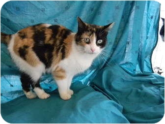 Polydactyl/Hemingway Cat for adoption in Bay City, Michigan - Ginny~~adopted 3/2012~~