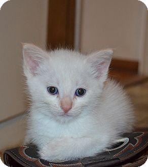 Domestic Shorthair Kitten for adoption in San Diego, California - Nelix