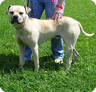 Staffordshire Bull Terrier Mix Dog for adoption in Somerset, Pennsylvania - Ned