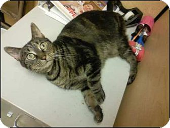 Domestic Shorthair Cat for adoption in Worcester, Massachusetts - Bethany