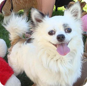 Chihuahua Mix Dog for adoption in San Diego, California - Ukie
