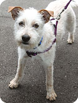 Terrier (Unknown Type, Small)/Australian Cattle Dog Mix Dog for adoption in Salem, New Hampshire - CHARM
