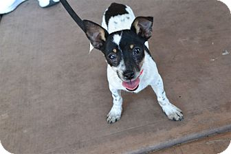 Rat Terrier/Chihuahua Mix Puppy for adoption in Scottsdale, Arizona - Sammy