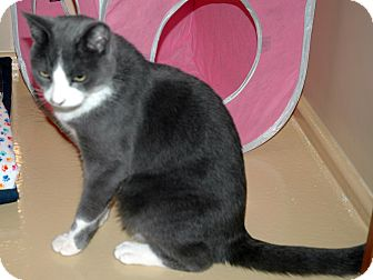 Russian Blue Cat for adoption in Arcadia, California - Marty