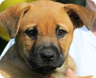 Labrador Retriever/Boxer Mix Puppy for adoption in Wakefield, Rhode Island - SELENA(ADORABLE PUPPY!!!