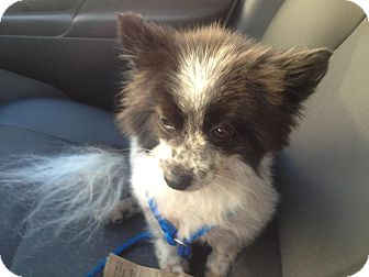 Pomeranian Dog for adoption in Daytona Beach, Florida - Tiny