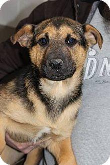 German Shepherd Dog Mix Puppy for adoption in Rexford, New York - Dru