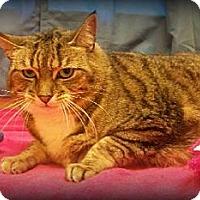 Domestic Shorthair Cat for adoption in Staley, North Carolina - Natasha