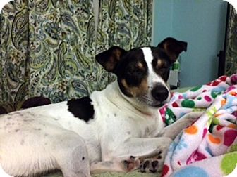 Rat Terrier/Jack Russell Terrier Mix Dog for adoption in Huntsville, Alabama - Devin