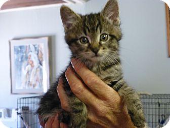 Domestic Shorthair Kitten for adoption in Quincy, California - Petal