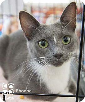 Domestic Shorthair Kitten for adoption in Merrifield, Virginia - Phoebe