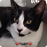 Domestic Shorthair Cat for adoption in Great Neck, New York - FIGARO