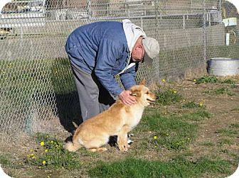 Australian Cattle Dog/Chow Chow Mix Dog for adoption in Reedsport, Oregon - Akira