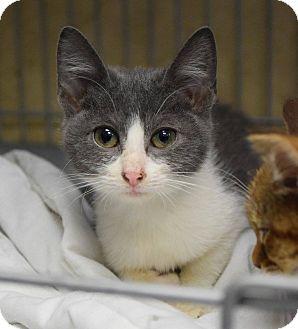 Domestic Shorthair Kitten for adoption in Lebanon, Missouri - Mavis