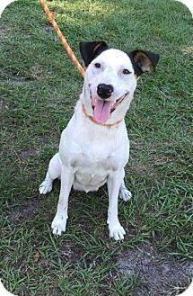 Cattle Dog/Border Collie Mix Dog for adoption in Ocala, Florida - Dixie
