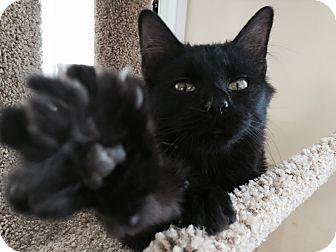 Domestic Shorthair Kitten for adoption in Richmond, Virginia - Phoebe