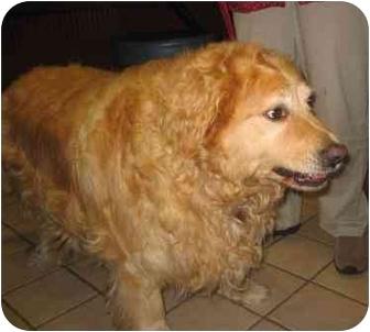 Golden Retriever Dog for adoption in Cleveland, Ohio - Oliver
