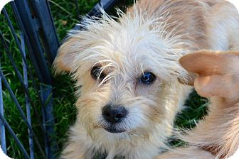 Terrier (Unknown Type, Small) Mix Puppy for adoption in Meridian, Idaho - Princess (puppy)