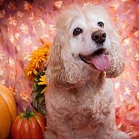 Cocker Spaniel Dog for adoption in Elizabethtown, Pennsylvania - Vodka