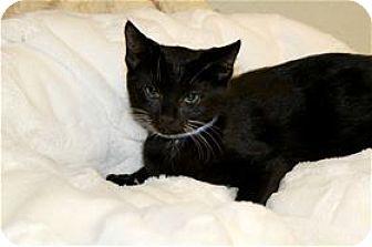 Domestic Shorthair Kitten for adoption in Lincoln, California - Cruz